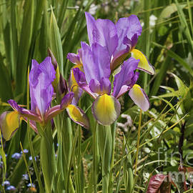 Terri Waters - Iris in my Garden
