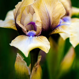 KG  Photography - Iris In Springtime