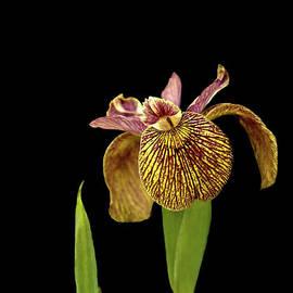 Iris on Black by Liz Alderdice