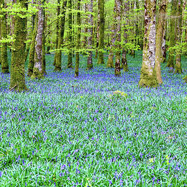 John Carver - Irish Bluebell woods - Lissadell, Sligo - new leaves on the trees and with a carpet of blue under