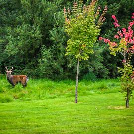 Irish Red Deer In Autumn by James Truett