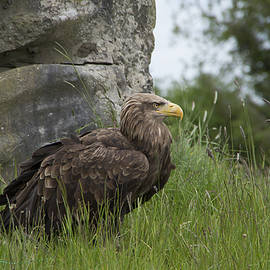 Martina Fagan - Irish Sea Eagle