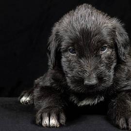 Irish Wolfhound Baby II by Agustin Uzarraga