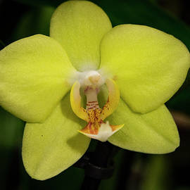 Jean Noren - Isolated Yellow Orchid