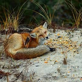 Paul Ward - Itchy Fox