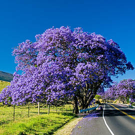 Jacaranda -  Explosion of color as a Jacaranda tree bloms by Nature  Photographer