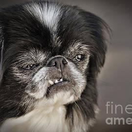 Japanese Chin Doggie Portrait by Jim Fitzpatrick