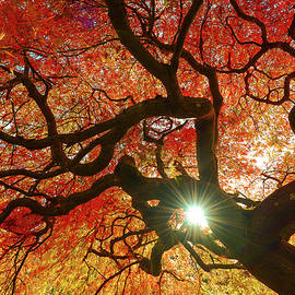 Abhay P - Japanese Maple