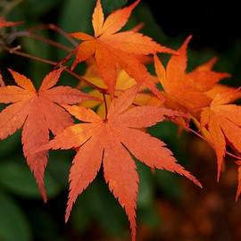Japanese Maple Leaves by Patricia Strand