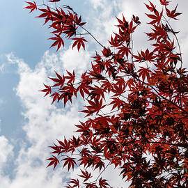 Japanese Maple Red Lace - Vertical Up Left by Georgia Mizuleva