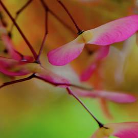 Japanese Maple Seedlings by Brenda Jacobs