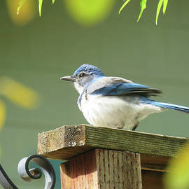 Brooks Garten Hauschild - Scrub Jay on a Fence - Images from the Fall Garden