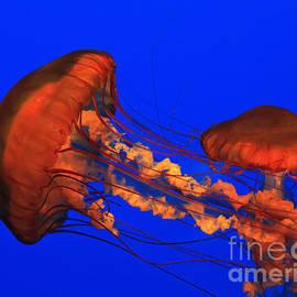 Jellyfish by Jill Lang