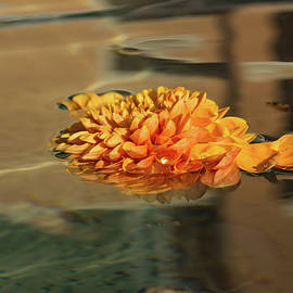 Jewel Drops - Orange Chrysanthemum Bloom Floating in a Fountain by Georgia Mizuleva