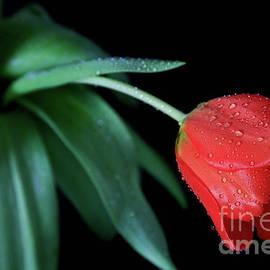 Tracy Hall - Jeweled Tulip