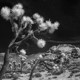 Randall Nyhof - Joshua Trees and Boulders in Infrared Black and White