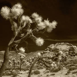 Randall Nyhof - Joshua Trees and Boulders in Infrared Sepia Tone
