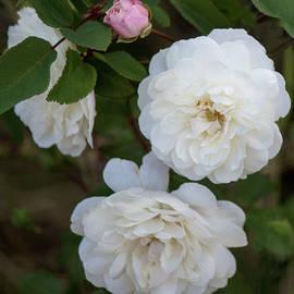 Tania Read - Joyful Roses