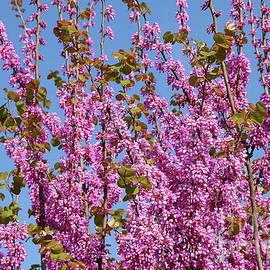 Yoel Koskas - Judas tree in pink, Haela valley near to Modiin