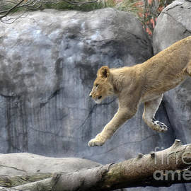 Beth Wolff - Jumping  Lion
