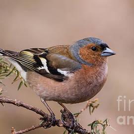 Torbjorn Swenelius - Juniper Bird