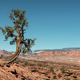 Juniper in Capitol Reef by Joseph Smith