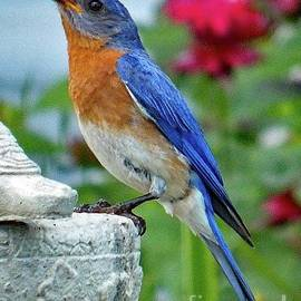 Cindy Treger - Just A Drop of Water - Eastern Bluebird
