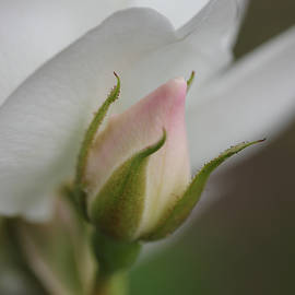 Just a Pink Rosebud by Jennie Marie Schell