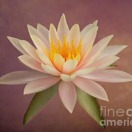 Just Peachy Water Lily by Sabrina L Ryan