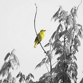 Dan Sproul - Just Yellow Warbler