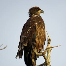Juvenile Bald Eagle 1 by Dennis McCarthy