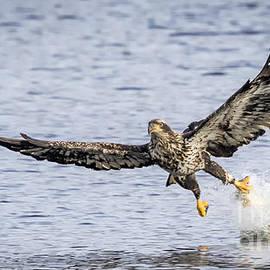 Ricky L Jones - Juvenile Bald Eagle Fishing