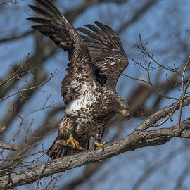 Gerry Gantt - Juvenile Bald Eagle with a Fish DRB0219