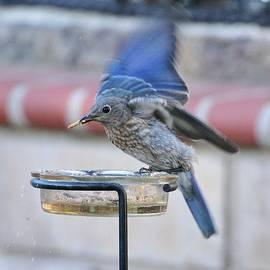Linda Brody - Juvenile Bluebird III