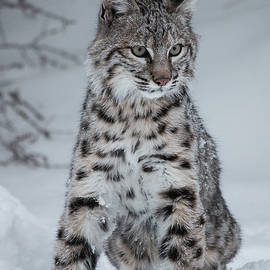 Juvenile Bobcat in the Snow by Teresa Wilson