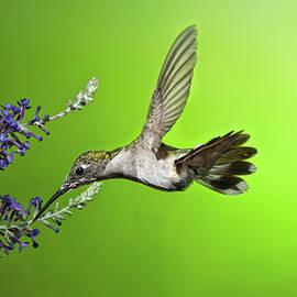 Lara Ellis - Juvenile Female Hummingbird on Butterfly Bush