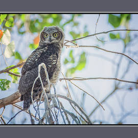 Juvenile Great Horned Owl 0460-051318-1cr-matte by Tam Ryan