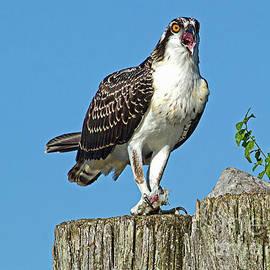 Geraldine DeBoer - Juvenile Osprey#1