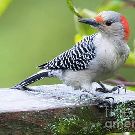 Ricky L Jones - Juvenile Red-Bellied Woodpecker in the Rain