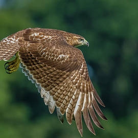 Juvenile Red-Tailed Hawk Hunting by Morris Finkelstein