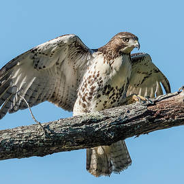 Morris Finkelstein - Juvenile Red-Tailed Hawk On A Branch