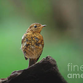 Rawshutterbug - Juvenile Robin