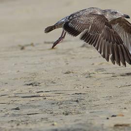 Juvenile Western Gull by Ruth Jolly