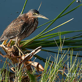 Juvenille Green Heron by Photos By Cassandra