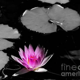 Kahana Lotus Lily by Michele Hancock