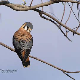 Kestrel Cutie by Mike Fitzgerald