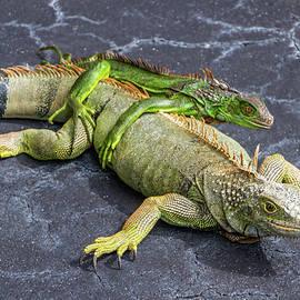 Key West Iguana Mother And Child by Bob Slitzan