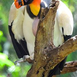 Richard Bryce and Family - King Vulture