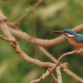 Flycatch Studio - Kingfisher