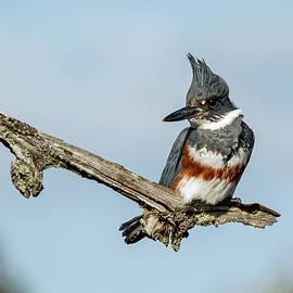 Kingfisher watch by Inge Riis McDonald